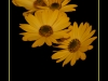 fiori-6